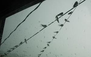 雷雨に耐えるツバメ